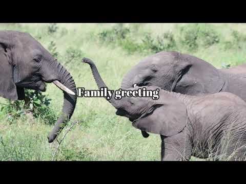 Wild African Elephants Combination Of Video Clips 15min Movie