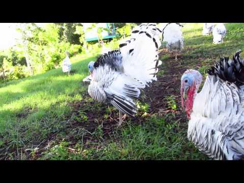 Royal Palm Turkey Display and Warning of Hawk thumbnail