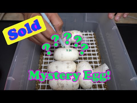 Just Tips For Your Ball Python Collection And A Mystery Egg Sale?