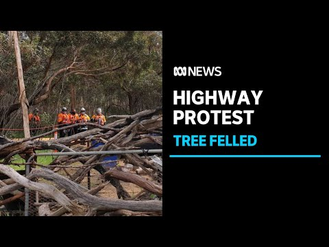 50 arrests as emotions run high over felling of 'sacred' tree to make way for highway | ABC News
