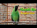 Burung Cucak Ijo Bongkar Isian Ngentrok Pancingan Cucak Ijo Untuk Merangsang Emosi Cucak Ijo Lain  Mp3 - Mp4 Download