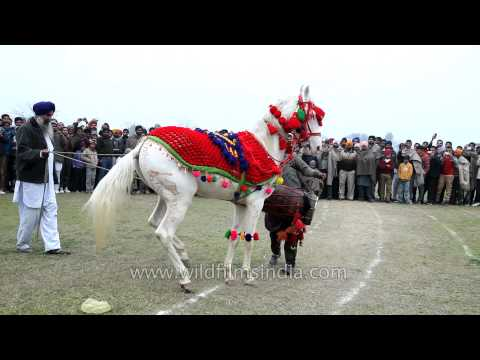 Trained horse dancing along the drum beats