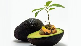 ♡ How To Grow Avocado from Seed  | DIY Grow Food How to growing 😍 avocado tree seed at home garden
