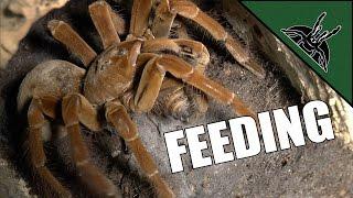 BEST FEEDING VIDEO EVER | Tarantula room tour