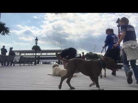2-Year Old Golden Doodle, Charlie!  Golden Doodle Dog Training in Virginia