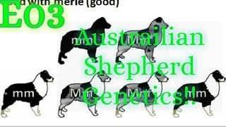 E03 Lets Talk About Australian Shepherds: Aussie Coat Genetics