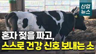소가 스스로 건강상태 알린다…스마트해진 축산 농가_산업…