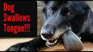 Dog SWALLOWS Tongue!!! - K9 Mukbang