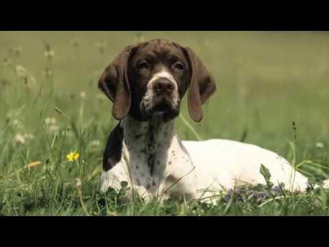 French White and Black Hound - large dog breed