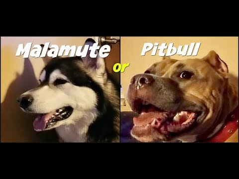 Who's The Better Guard Dog a Malamute or Pitbull