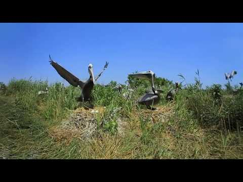 360 Video: Brown Pelicans on North Pelican Island