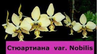 СТЮАРТИАНА  var  Nobilis (желтая стюартинана)