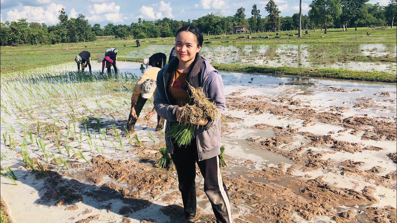 Farmer worker in Laos 🇱🇦 so hard to work ค่าจ้าง ดำนาอยู่ลาว ຄ່າຈ້າງດຳນາຢູ່ລາວເຮົາ