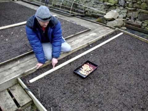 How do you plant onion sets?