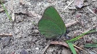 Pieni vihreä perhonen