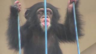 Download Video チンパンジー 双子の赤ちゃん145  Chimpanzee twin baby MP3 3GP MP4