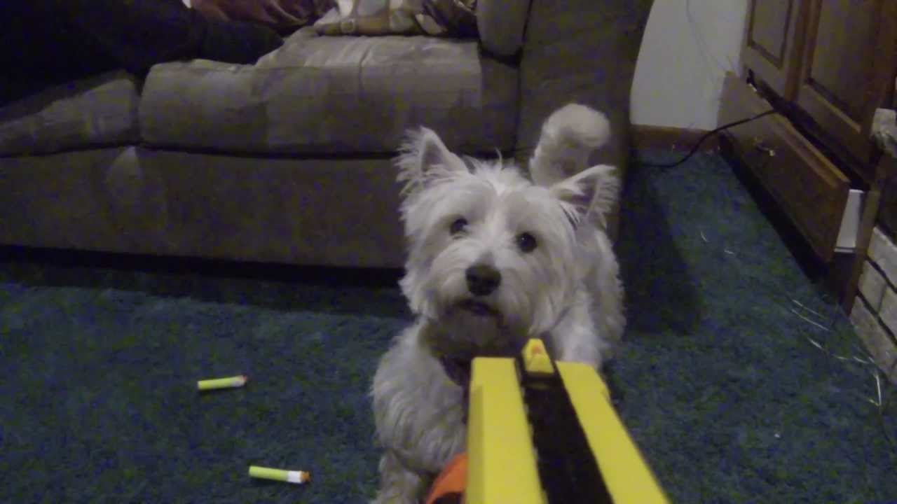 Adobe Images Search Shooting Westie Dog With Nerf Gun Youtube