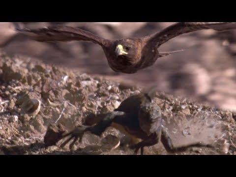 Hawk Hunts Marine Iguanas | BBC Earth
