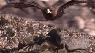 Hawk Hunts Marine Iguanas | BBC Earth
