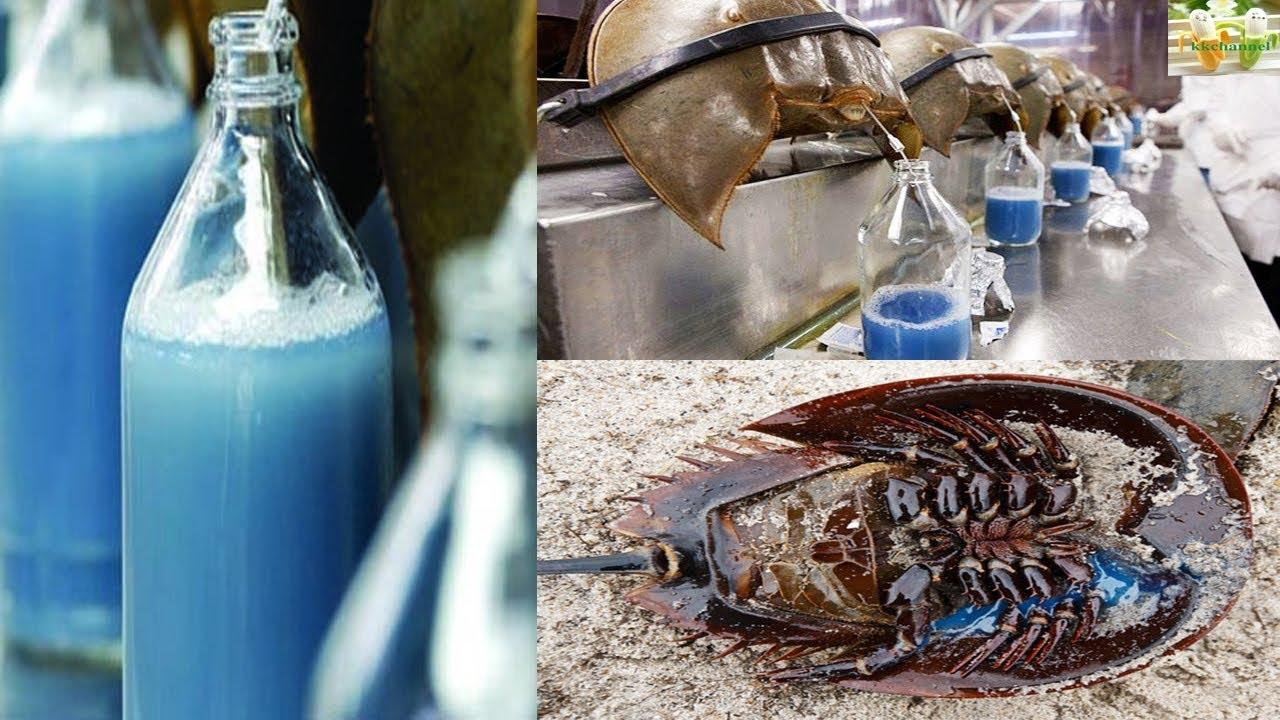 เลือดสีฟ้า!!!!!ประโยชน์อันยิ่งใหญ่ทางการแพทย์  จากแมงดาทะเล