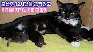 출산후 12시간을 아기곁에서 꼼짝않고 지키는 어미고양이, a mother cat who stays with the baby for 12 hours after giving birth