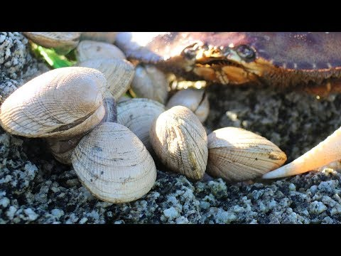 Catch and Cook Littleneck (Steamer) Clams: Easy Peasy Clam LINGUINE