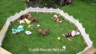 Little Rascals Uk Breeders New Litter Of Jackatzu - Puppies For Sale UK