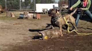 Padero ( Dogo Canario)