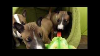 Kennel Calypso Mini Bull Terrier Frog Movie Trailer Selected Cuts.wmv
