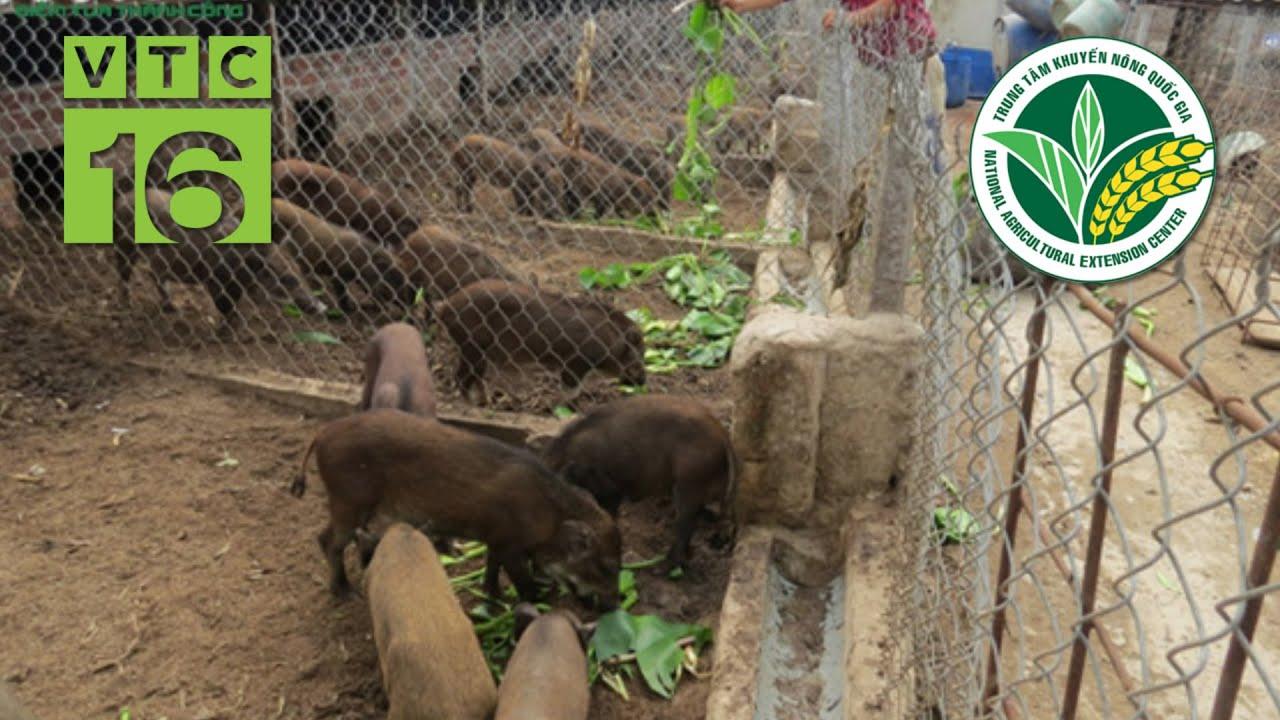 Cách làm chuồng trại nuôi lợn rừng | VTC16