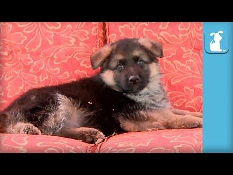 Fluffy German Shepherd Puppy Falls Asleep In Rocking Chair - Puppy Love