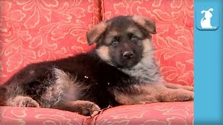 Fluffy German Shepherd Puppy Falls Asleep In Rocking Chair - Puppy Love