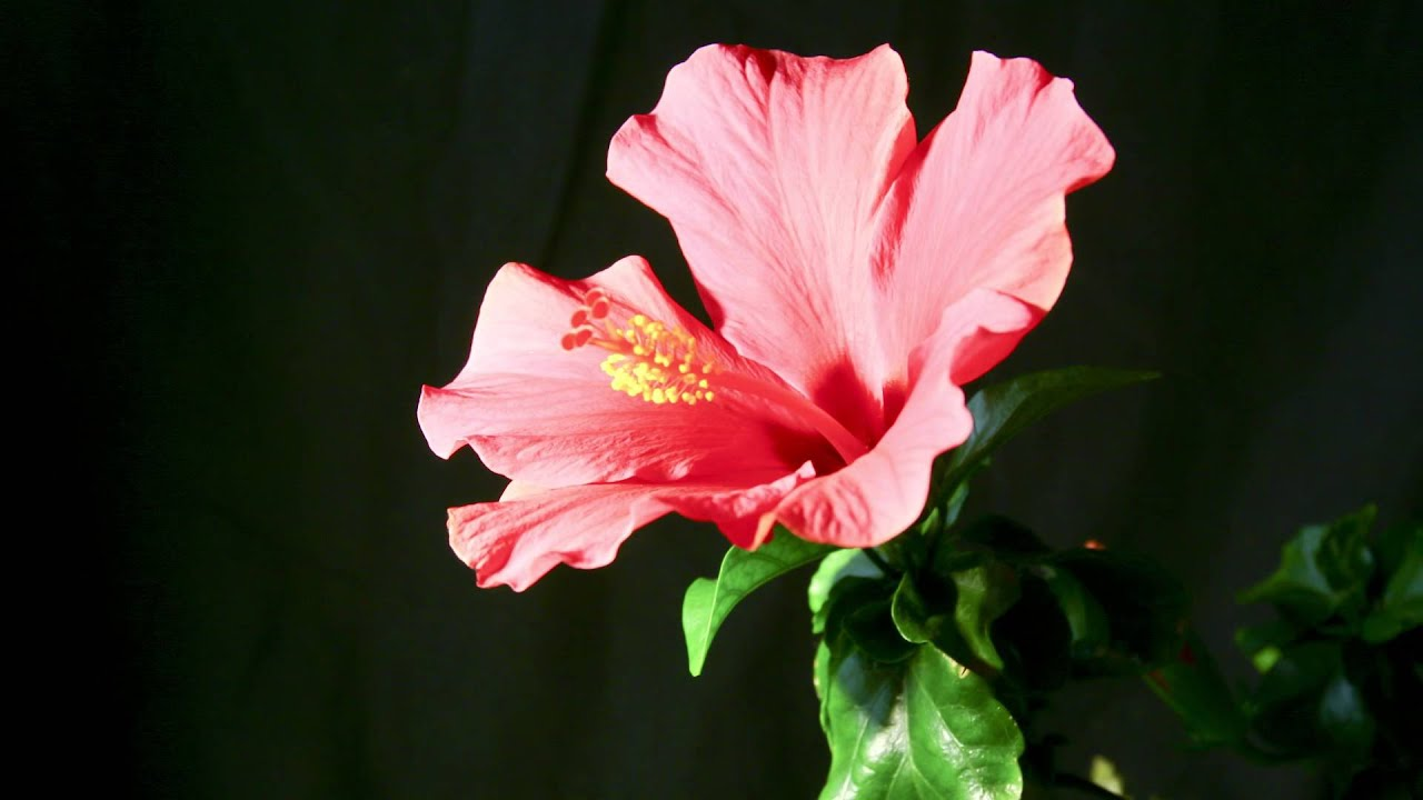 Hibiscus Time Lapse Youtube