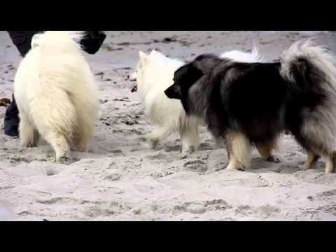 American Eskimo met Samoyed and Keeshond at the beach