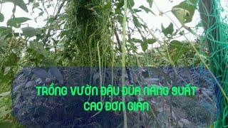 Quy trình trồng Đậu Đũa đơn giản cho nhiều Trái