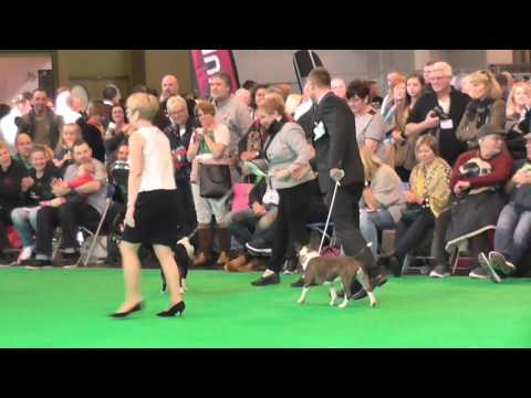 Best of Breed Miniature Bull Terrier Crufts 2016 Judge Elaine Clark (FourHeatons)