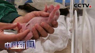 [中国新闻] 大熊猫中心迎来2020年国内首只宝宝 | CCTV中文国际