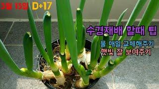 대파 수경재배 수확하기