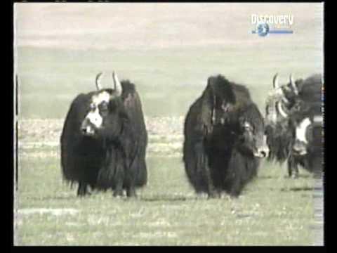 Rare Tibetan Wild Yak 1