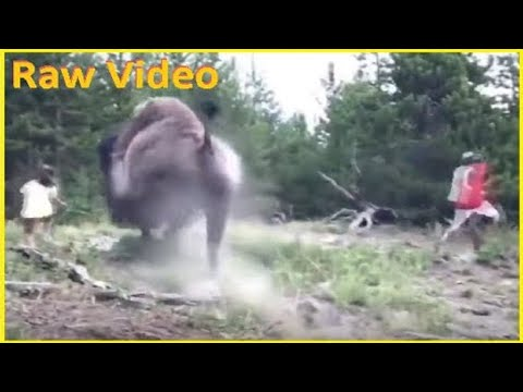 Sherri Marengo - A wild bison tossed a 9 year old girl into the air at Yellowstone!