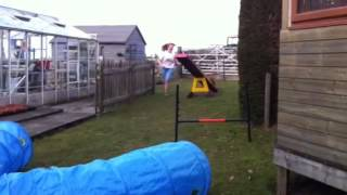 Millie Cavalier King Charles Spaniel Agility Training Seesa