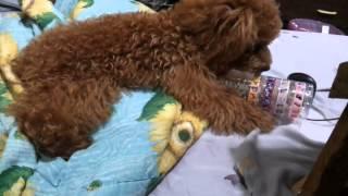 貴賓狗:那麼無聊也能玩,那不用買夭壽貴的狗玩具啦!(影片也很無聊)