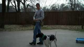 Dallas Dog Training | Redeeming Dogs - Dog Training | Baci The German Shorthair Pointer