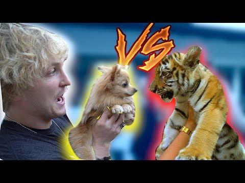 KONG MEETS A BABY TIGER! **Showdown**