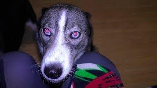 Собака НЕЗЕМНОГО ПРОИЗХОЖДЕНИЯ