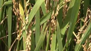 Rice Blast in Allen Parish