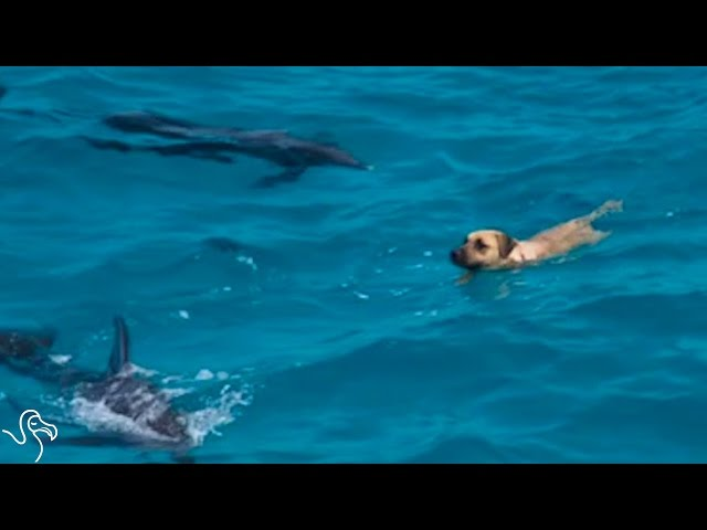 Dog Swims With Dolphins — And Then Decides He's A Dolphin Too