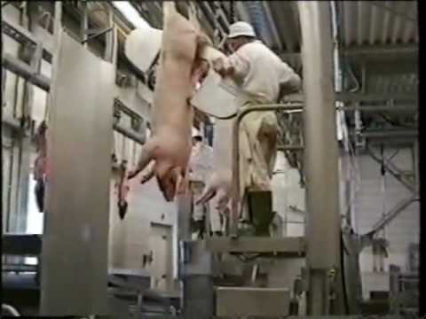 Pig slaughter line for up to 40 pigs per hour
