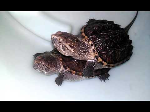Tortugas lagarto bebes youtube for Tortugas maories imagenes