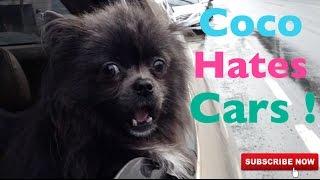 Coco Hates Cars | Dog Barks At Cars | Pomeranian Problems | Funny